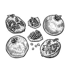Pomegranate fruit set food sketch vector