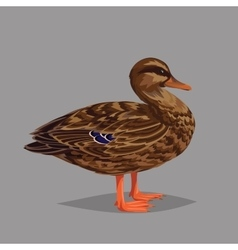 Realistic bird Wild Duck on a grey background vector
