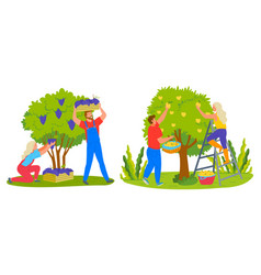 Harvesting apples and grapes agriculture vector