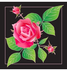 Beautiful rose isolated on black vector image vector image
