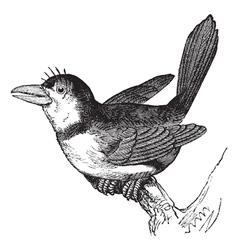 Puffbird vintage engraving vector image vector image