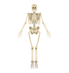 Skeleton icon human skeleton front side vector