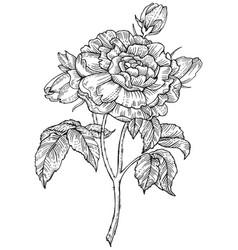 Rose flower engraving style vector