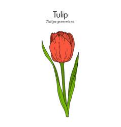 Garden tulip flower tulipa gesneriana ornamental vector