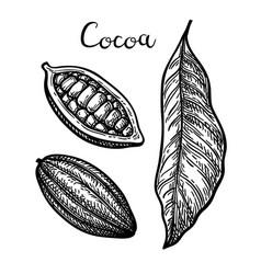 ink sketch of cocoa vector image