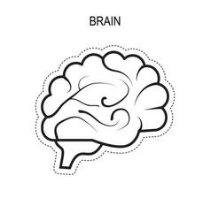 brain human organ vector image vector image