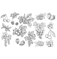 sketch berries hand drawn icons labels set vector image