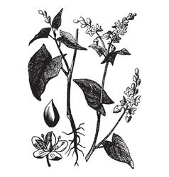 Buckwheat vintage engraving vector image vector image