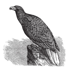 European Eagle Vintage engraving vector image