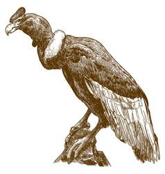 Engraving drawing of big andean condor vector