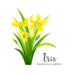 iris yellow flower isolated vector image