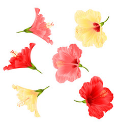 flowers tropical plant hibiscus vector image