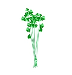 Fresh Green Chinese Celery on White Background vector image