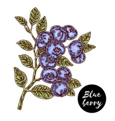 hand drawn color sketch berries ripe blueberry vector image