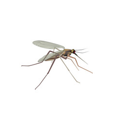 Mosquito isolated gnat insect macro view vector