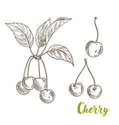 cherries with leaves sketch vector image