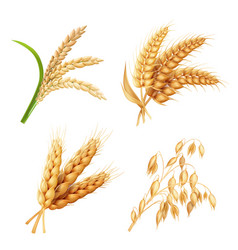 Agricultural crops set rice oats wheat barley vector