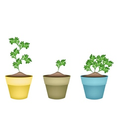 Fresh Green Coriander in Terracotta Flower Pots vector