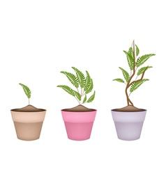 Fresh Tamarind Tree in Terracotta Flower Pots vector