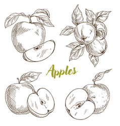 Apples branch and leaves vector