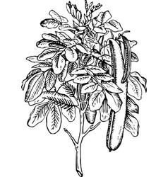 plant ceratonia siliqua vector image