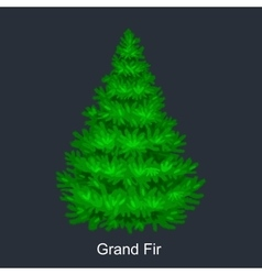 Christmas tree like grand fir for New year vector image