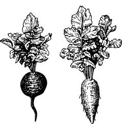 plant raphanus vector image