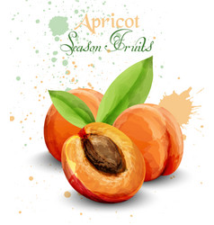 apricot watercolor delicious fruit vector image
