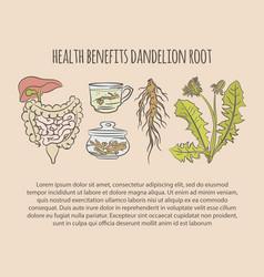 dandelion health benefits color pharmacy il vector image