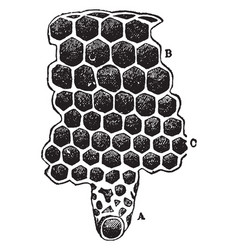 The cells of a beehive vintage vector