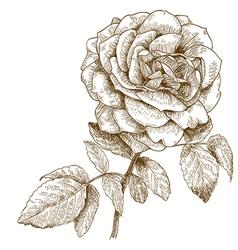 engraving rose vector image