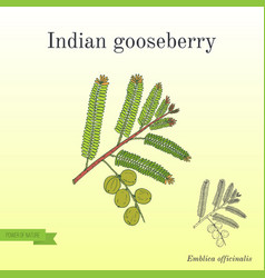 Indian gooseberry with leaves and berries vector