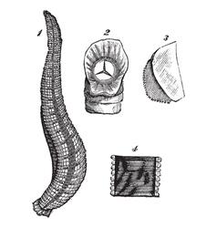 Medicinal leech vintage sketch vector image