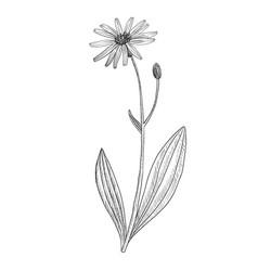 Drawing arnica vector