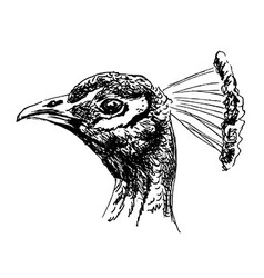 Hand sketch of the head of a peacock vector