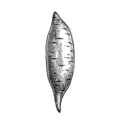 Ink sketch yam vector