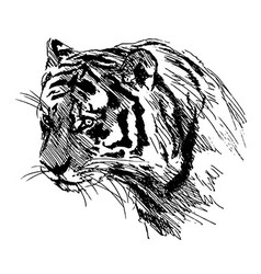 Hand sketch of the head of the tiger vector image