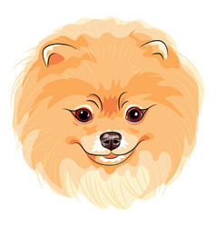cute dog pomeranian vector image