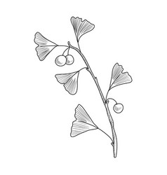 drawing ginkgo vector image