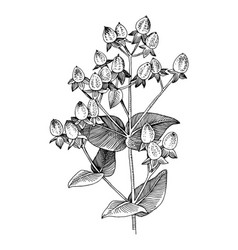 hand drawn hypericum branch vector image