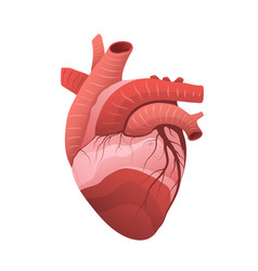 human heart anatomy flat 3d vector image