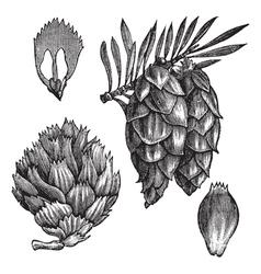 Black spruce vintage engraving vector