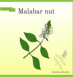 malabar nut justicia adhatoda or adulsa vector image