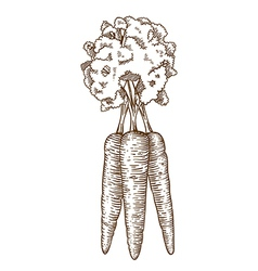 engraving carrot vector image