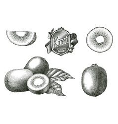 Antique engraving kiwi fruit collection hand vector