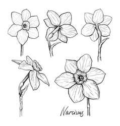 Set flowers narcissus vector