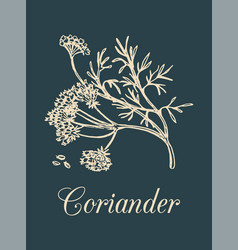 coriander with seeds and vector image