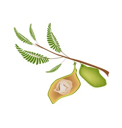 Ripe Pod of Chick Peas on A Plant vector image
