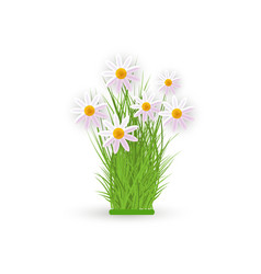 fresh white chamomiles on green grass - spring and vector image