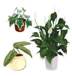 Calla lilies and other ornamental plants in pot vector